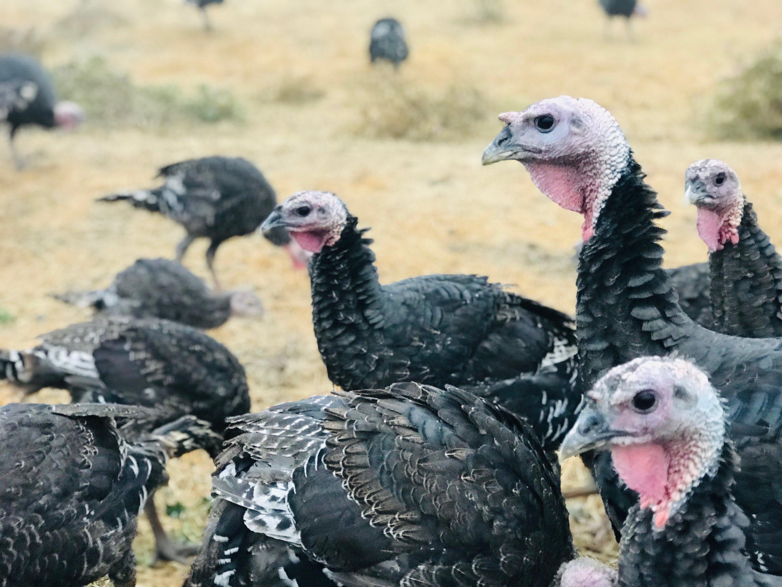 Turkeys2.JPG