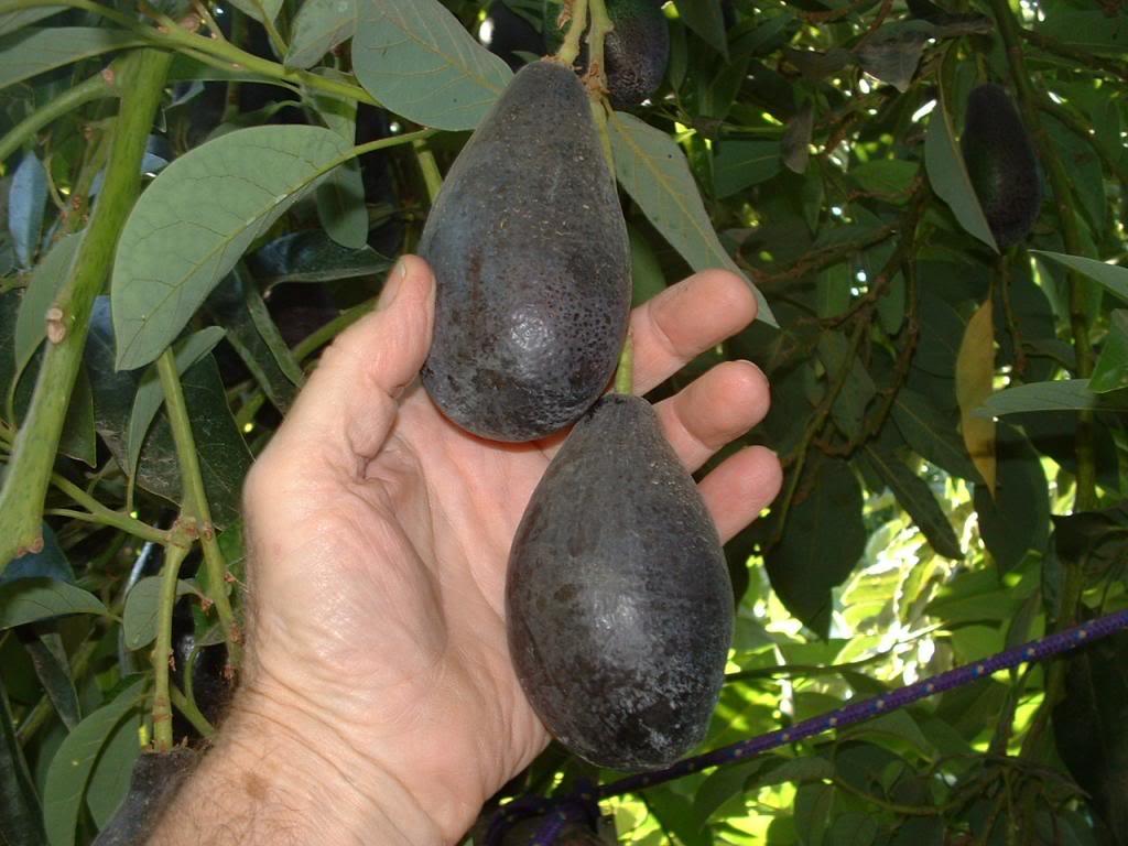 Avocado Tree, Grafted — A Natural Farm