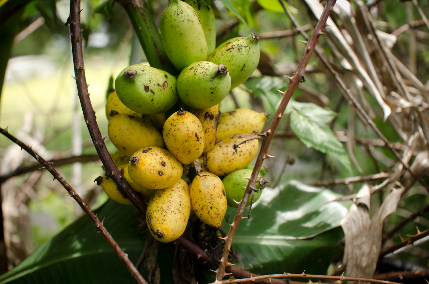 Bananas - Many Varieties — A Natural Farm
