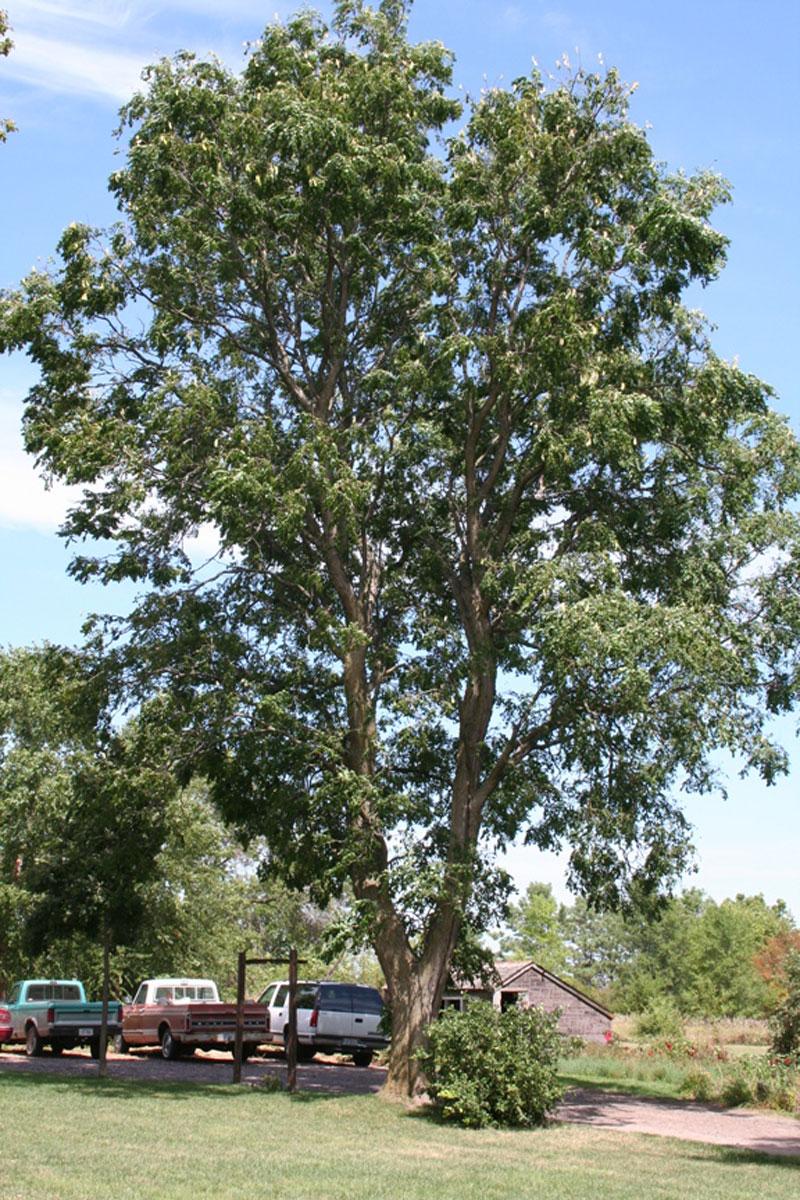 Kentucky Coffee Tree — Lower Elkhorn NRD