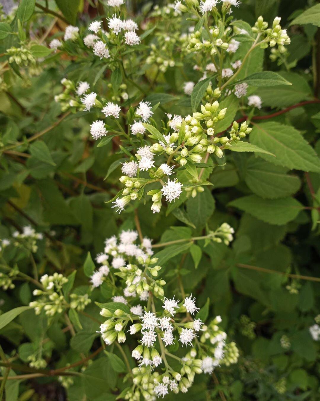 Ageratina Altissima White Snakeroot Onenature