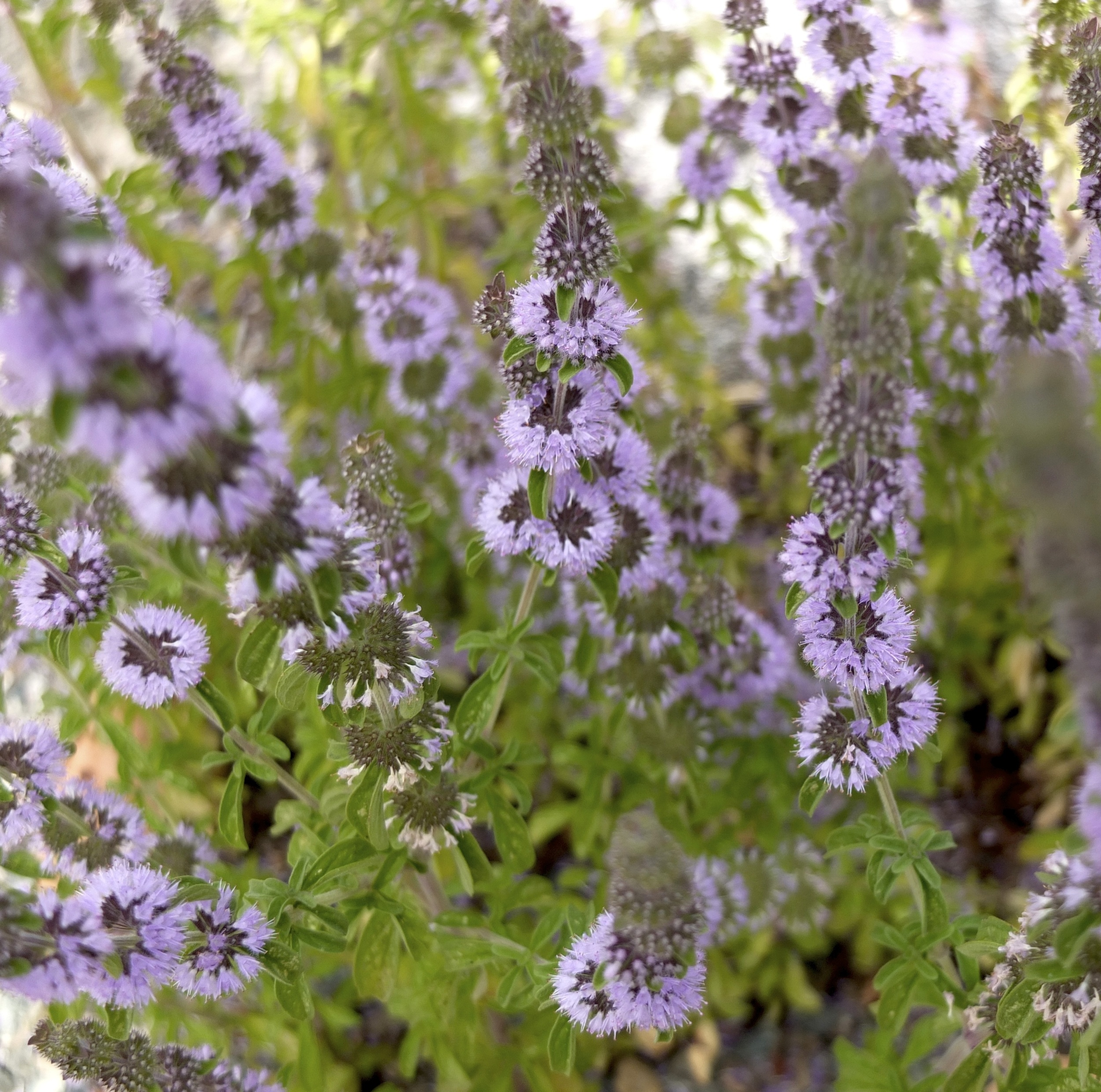 Mentha pulegium PENNYROYAL Fragrant Leaves Seeds!