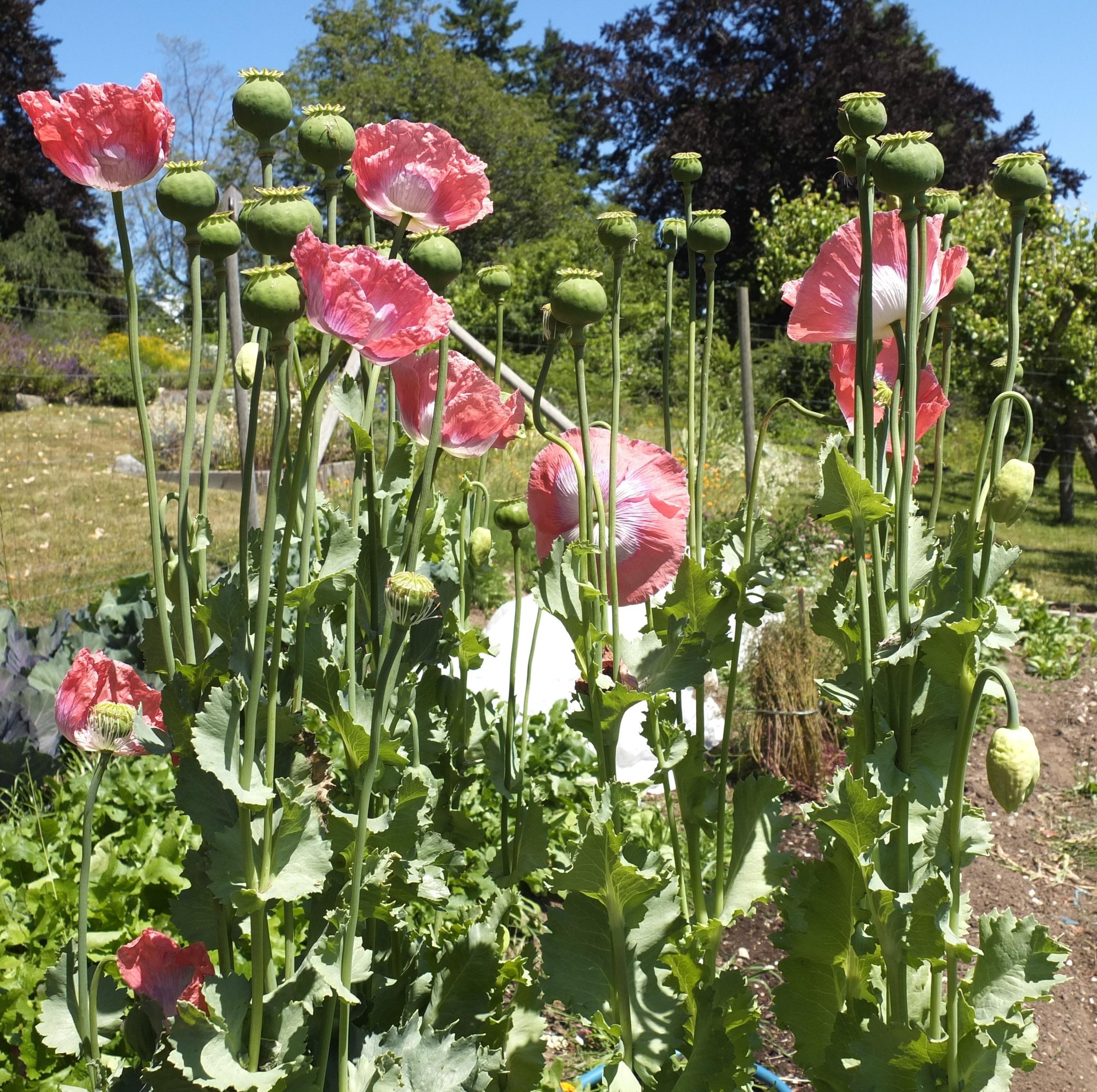 Opium Poppy Seeds — Ravensong Seeds & Herbals