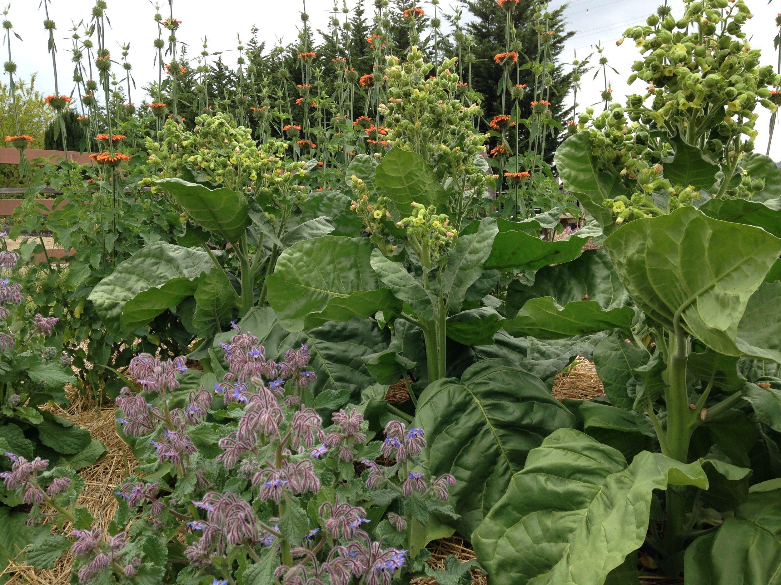 1000 yr old Tobacco Seeds — Ravensong Seeds & Herbals