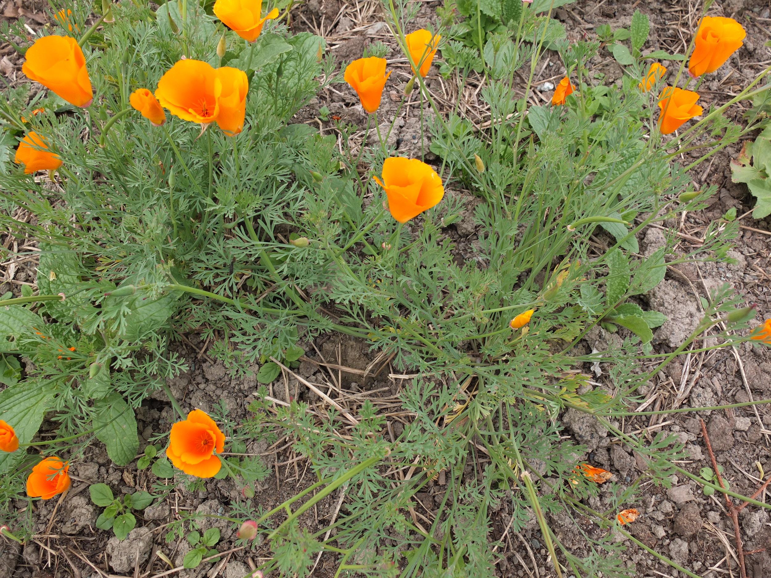 California Poppy Seeds — Ravensong Seeds & Herbals