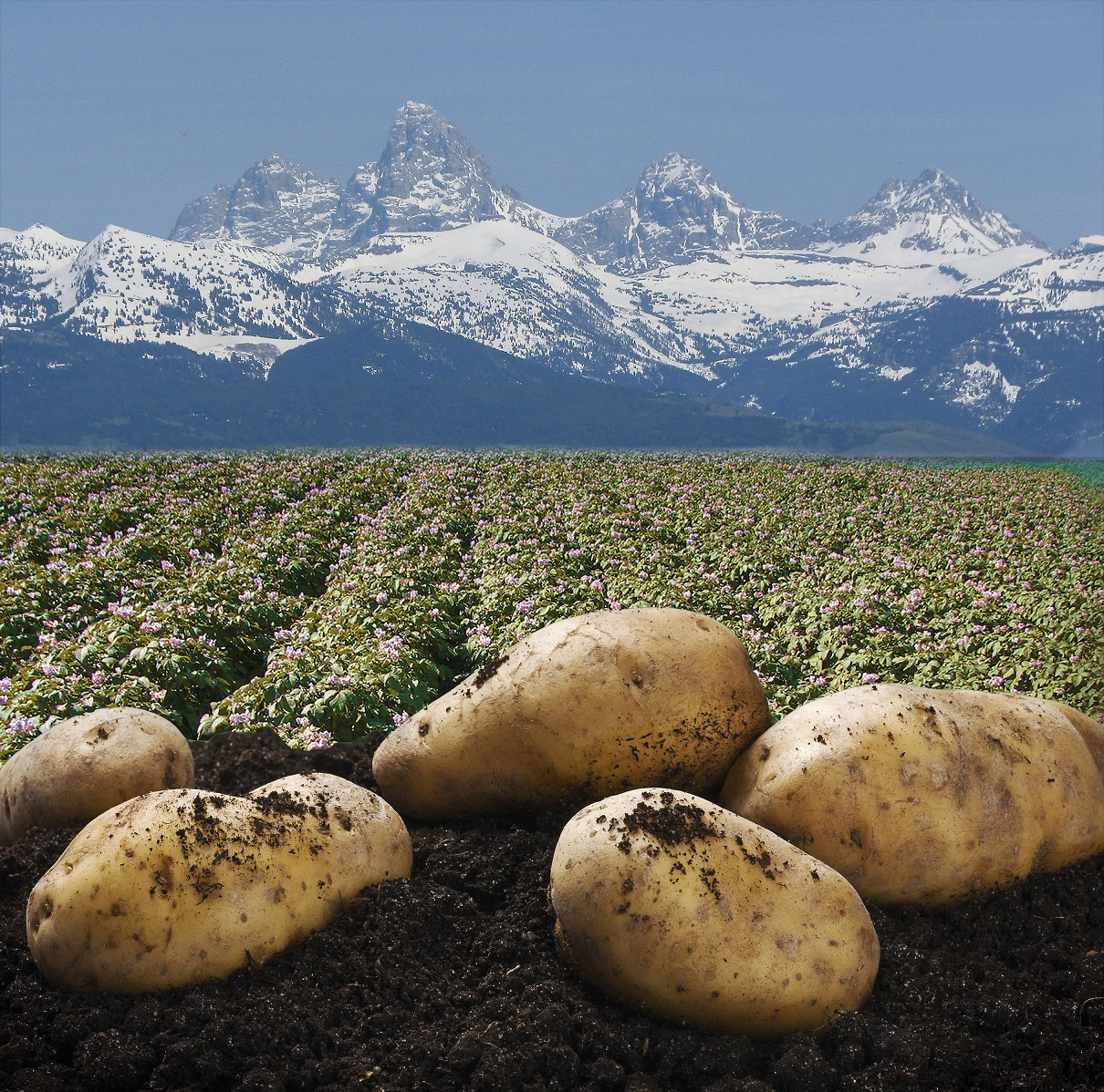 High-quality early generation U.S. Potato Seeds.   Providing varieties that are disease resistant, that produce high yields, and are suitable for post harvest processing and transformation.