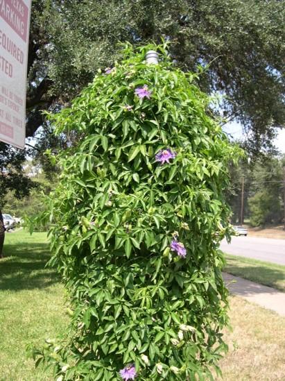 Purple Passionflower Passiflora Incarnata Cooperative Edible