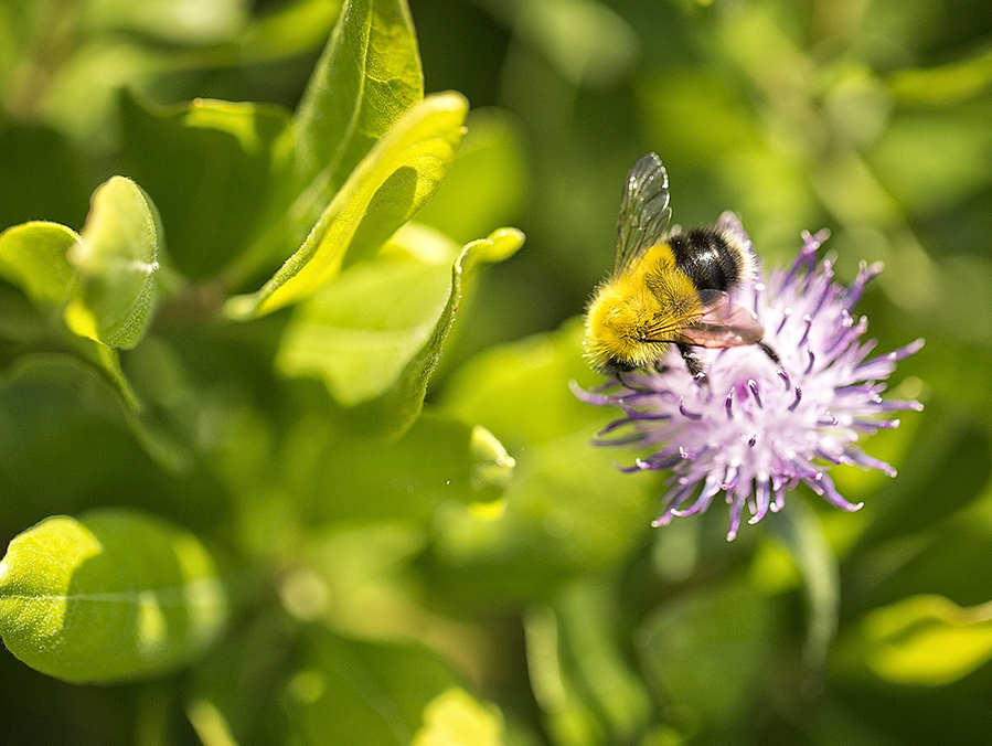 A bumble bee enjoys thistle sweetness in the Gabarus Wilderness