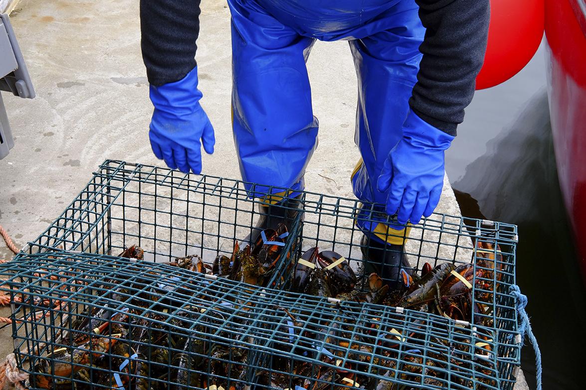 A Lobsterman in Gabarus prepares to sort the lobsters.