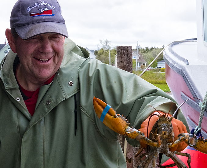 Lobstermen place the elastic bands over the claws at sea but they still wear heavy duty gloves when holding them. Lobster scars are part of the lobsterman's fare.