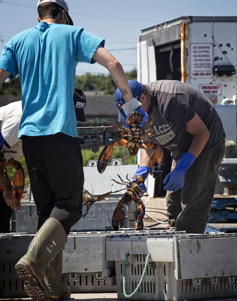 The men separate the lobsters into bins where they are weighed and placed on a waiting truck for shipment. Main a Dieu, Cape Breton