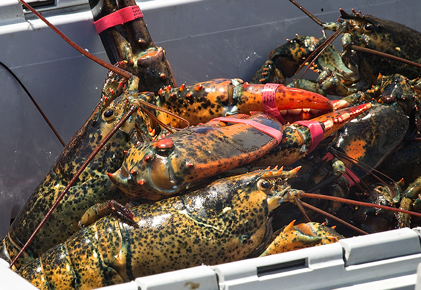 The catch light in the lobsters' eyes always meets my own.