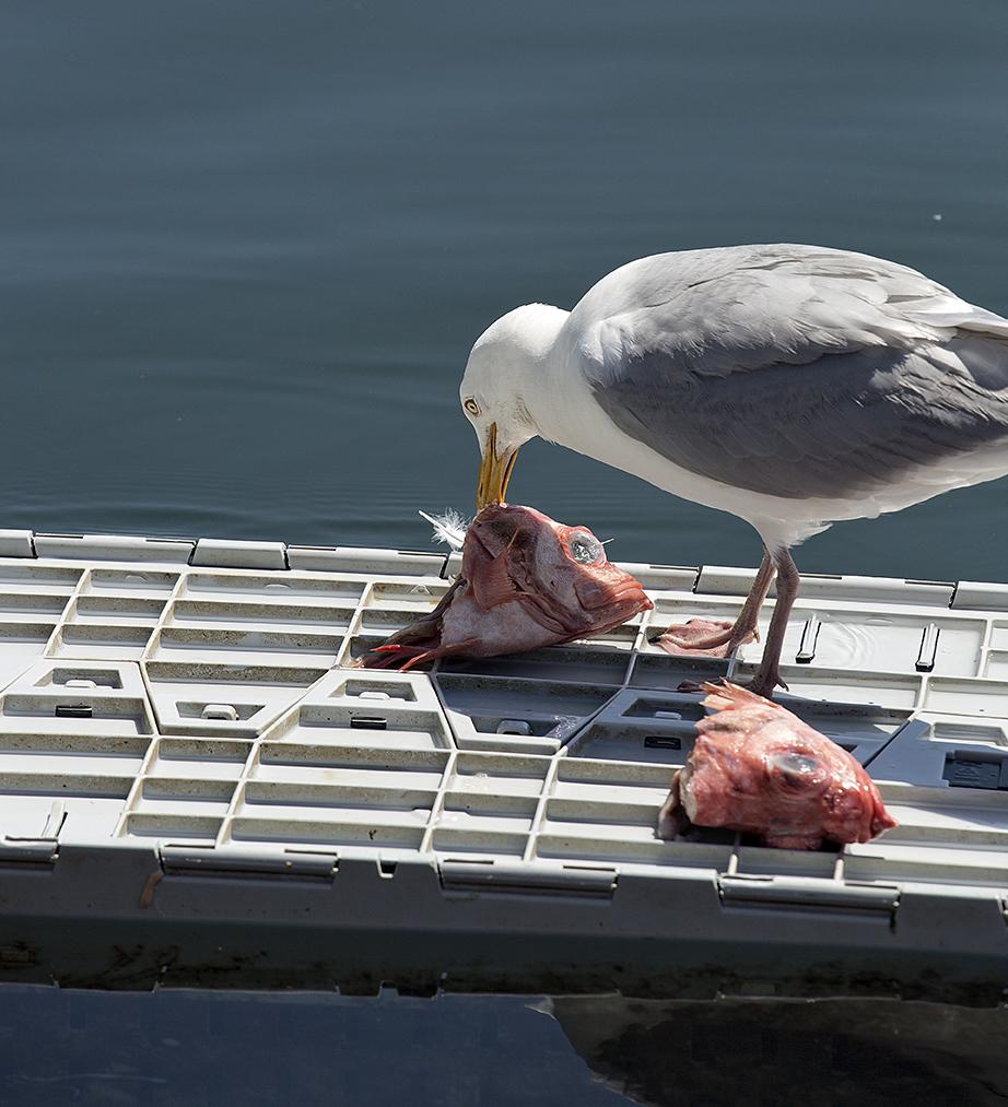 The Herring Gull has a lobsterman for a friend. Main a Dieu, Cape Breton