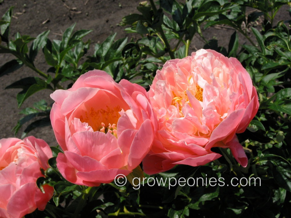 Pink Hawaiian Coral Peony Countryside Gardens Inc Peony Farm