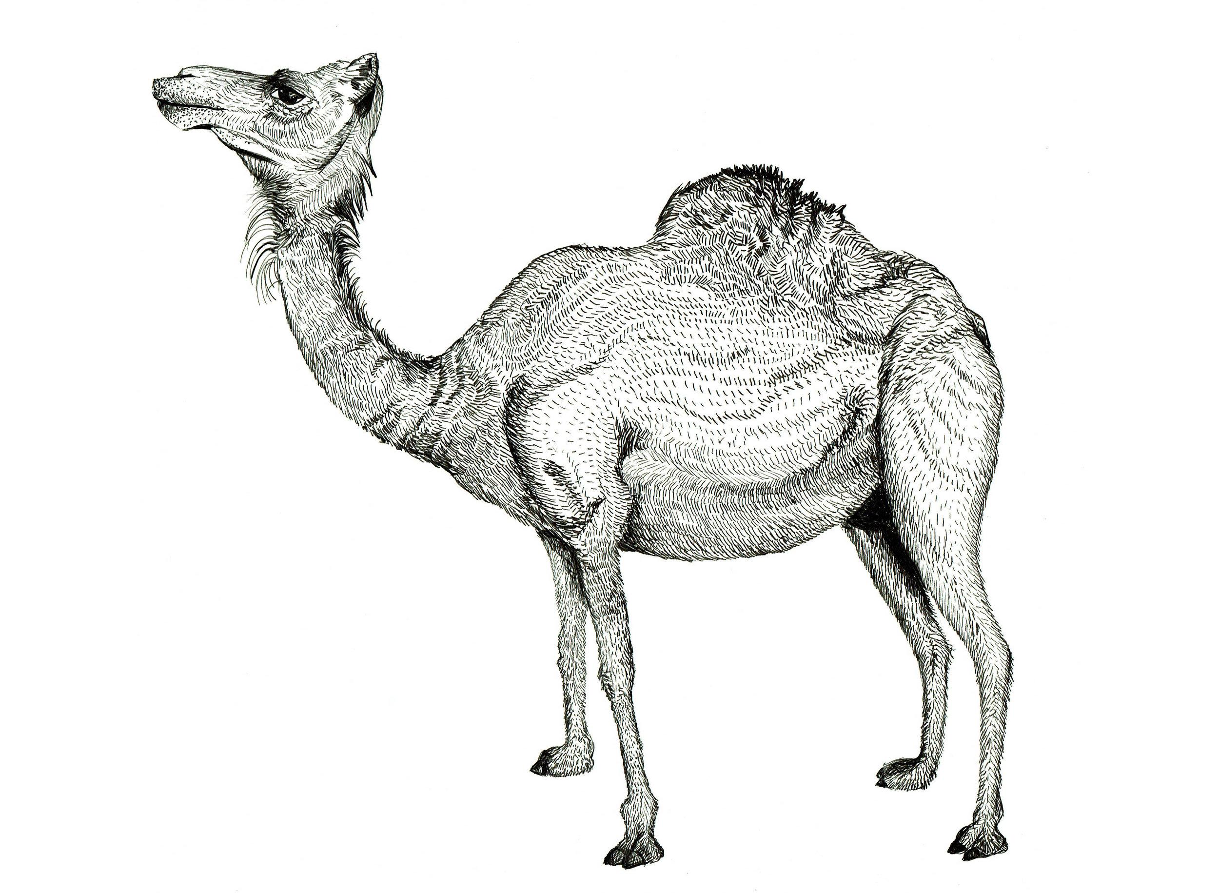 Harriet Popham - Original Ink Camel Drawing