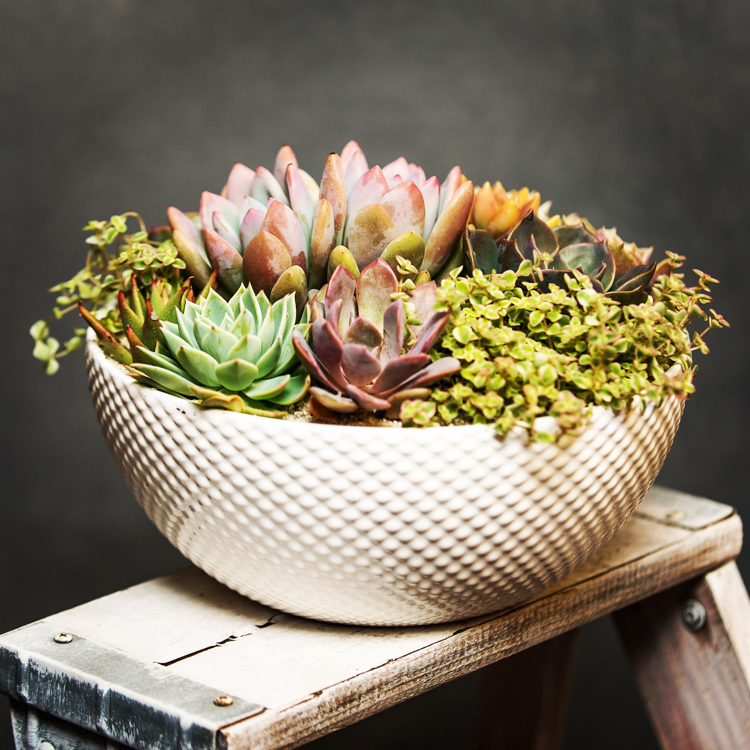 Large Living Succulent Bowl Thistle
