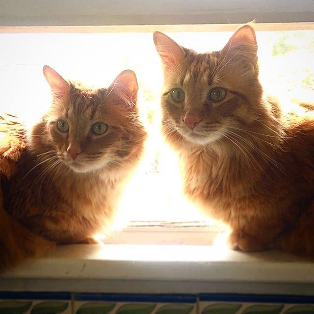 你这辈子见过这么帅的猫吗? 芒奇金和格莱姆林准备拍他们的年鉴照片了!!! 你想上年鉴吗? 把你的照片发短信或电子邮件给工作人员,维拉或皮夫! 📸