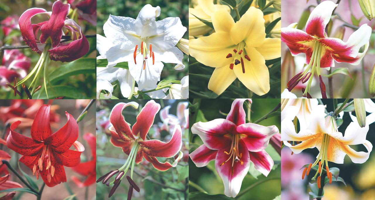 Hall Of Fame Collection 8 Varieties The Lily Garden