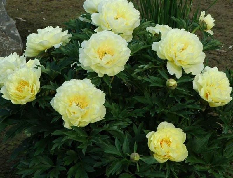 Peony Border Charm The Lily Garden