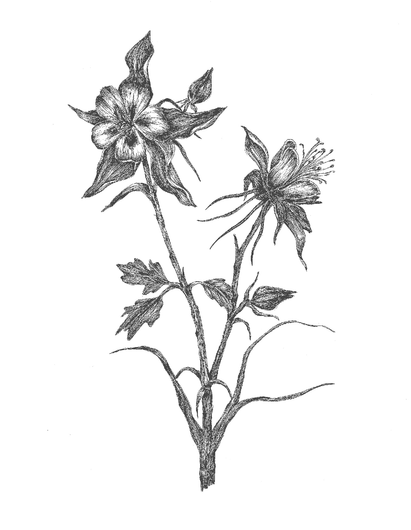 Colorado Columbine Flower Jenna Voelz