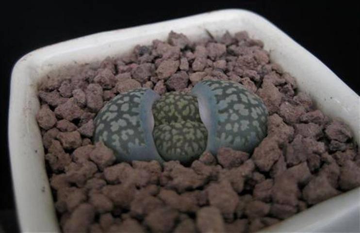 20 seeds Lithops salicola