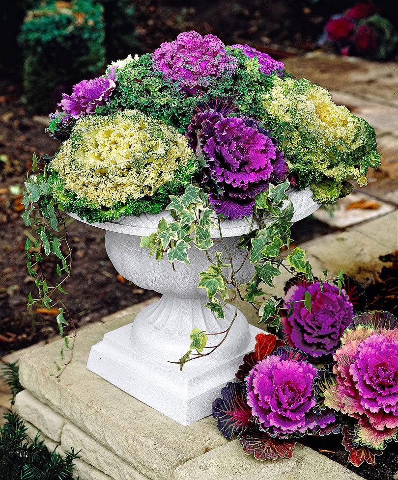 Ornamental Cabbage Mix 25 Seeds Rareplant
