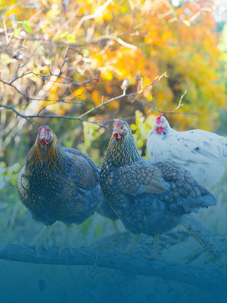 鸡-学生学习畜牧业, 特别是如何管理和照顾十博体育平台农场的鸡.