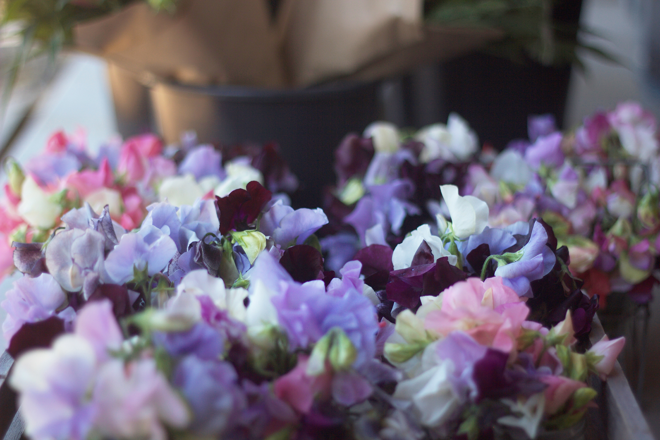 Mixed Colors Sweet Pea Seeds For Cutting Scattered Seeds A