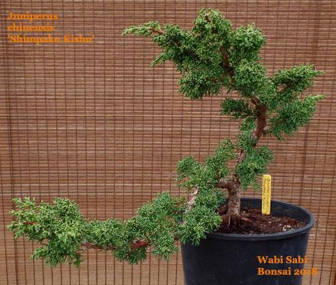 Juniperus chinensis 'Shimpaku Kishu' — Wabi Sabi Bonsai