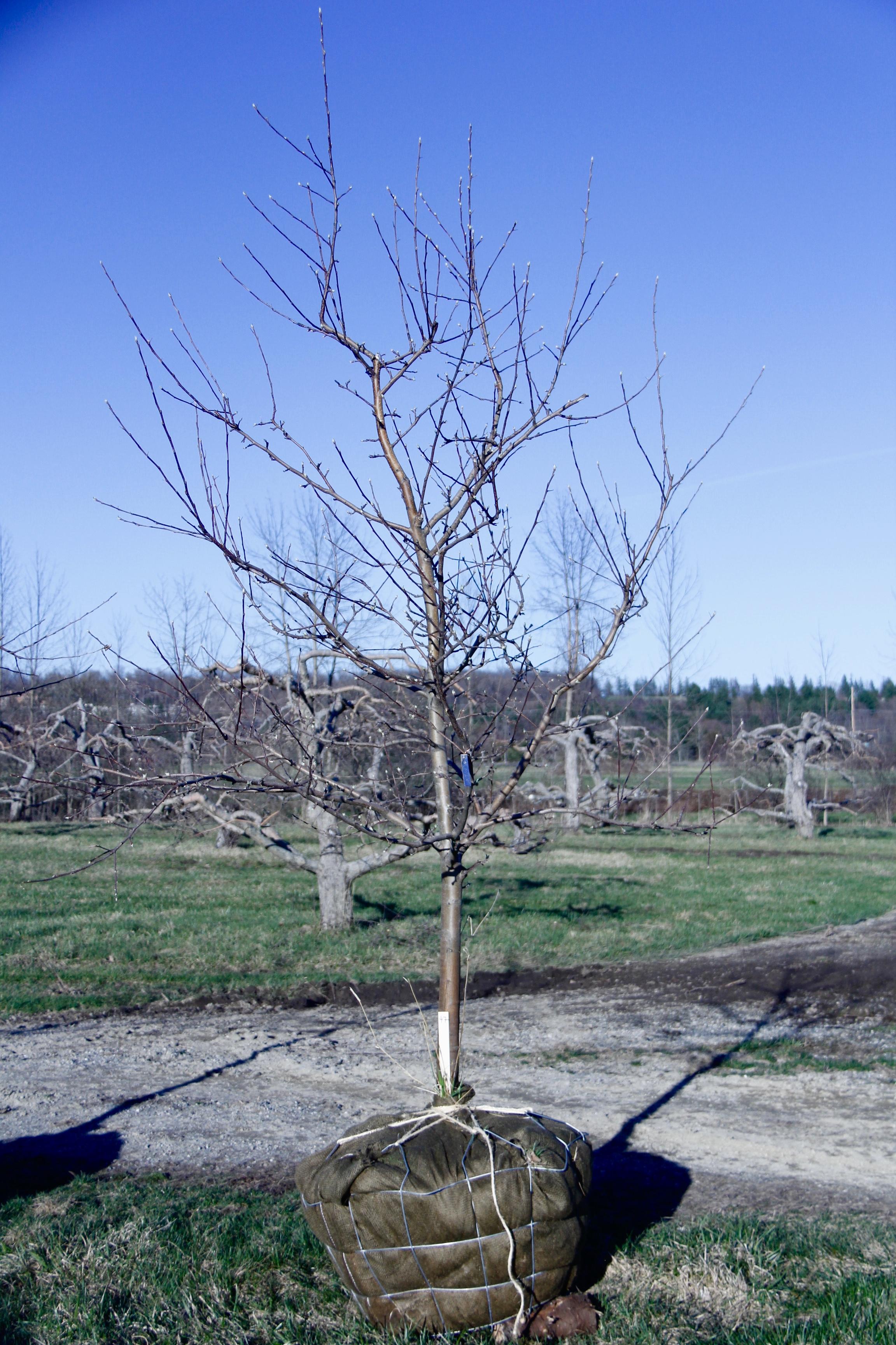 #47 - Golden Gala, Apple Tree - 2 25