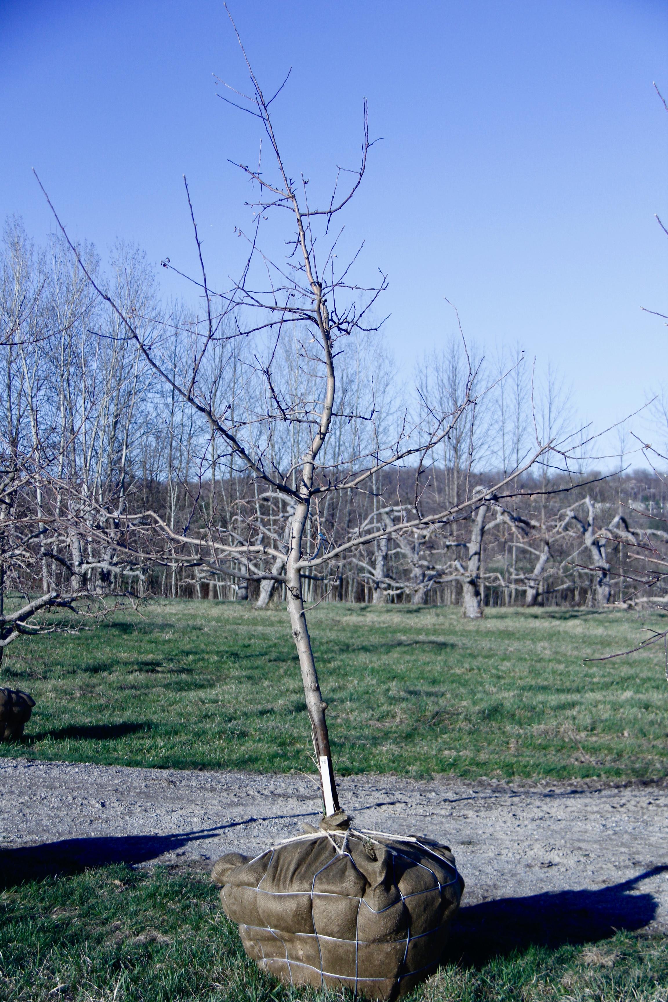 #48 - Golden Delicious, Apple Tree - 2