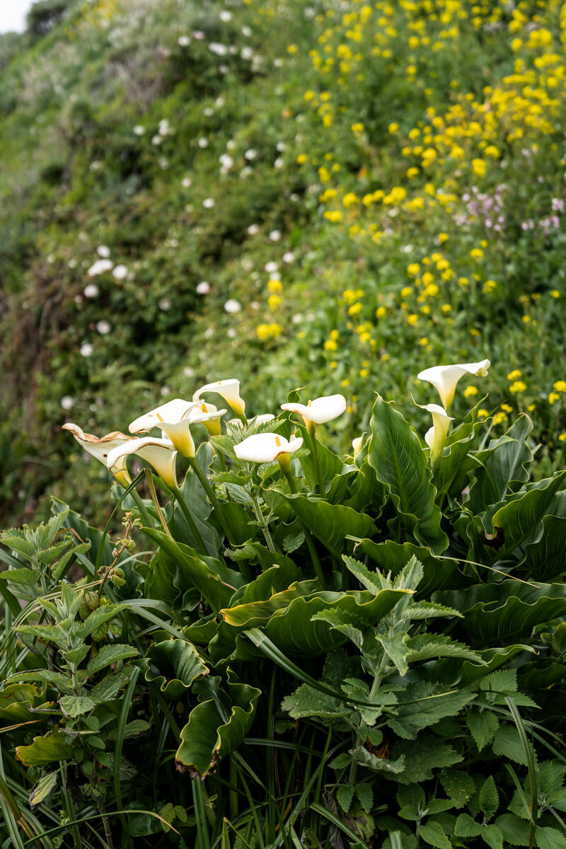 Big Sur Calla Lily Flowers ©詹妮弗·卡尔摄影-2.jpg