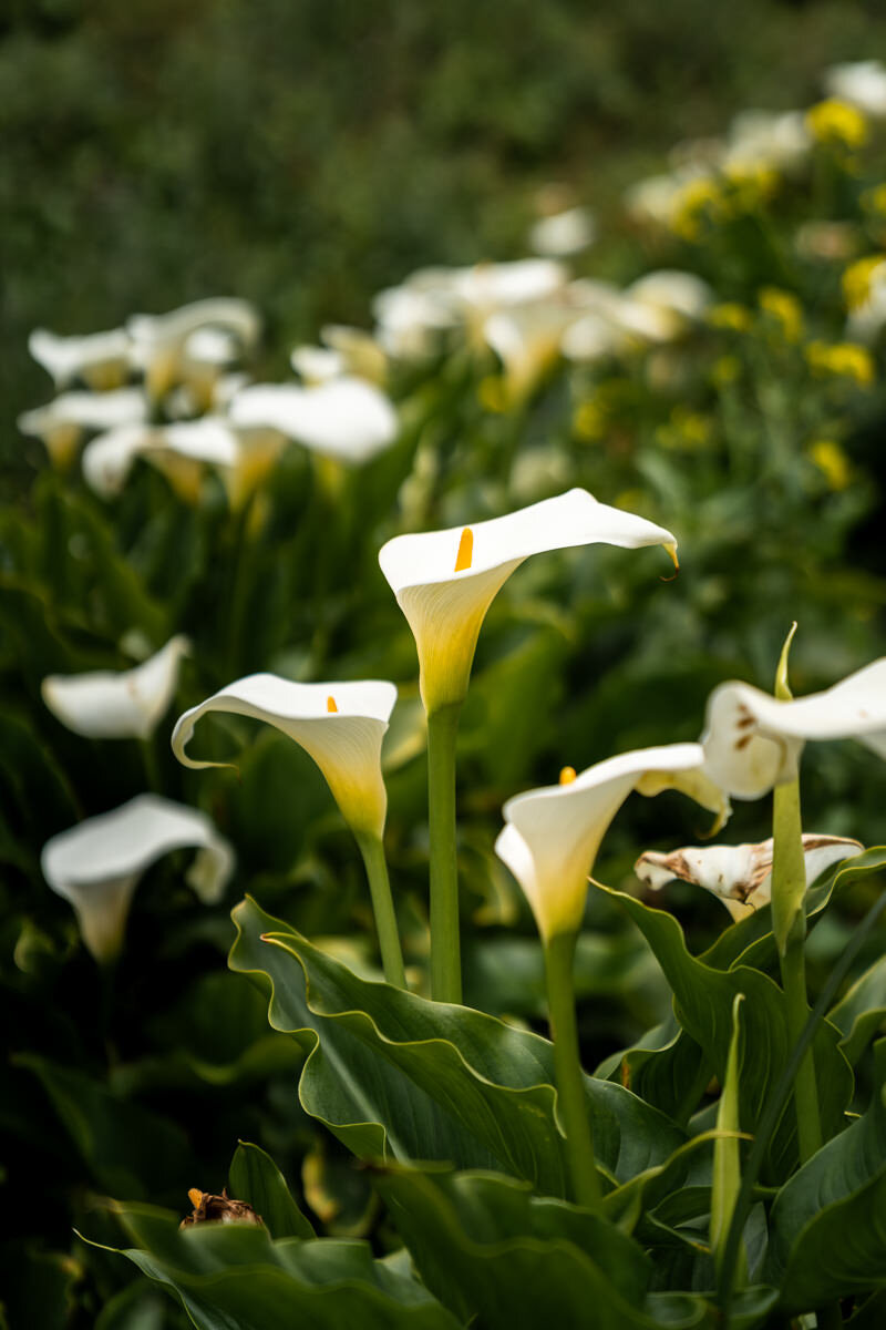 Big Sur Calla Lily Flowers ©詹妮弗·卡尔摄影-6.jpg