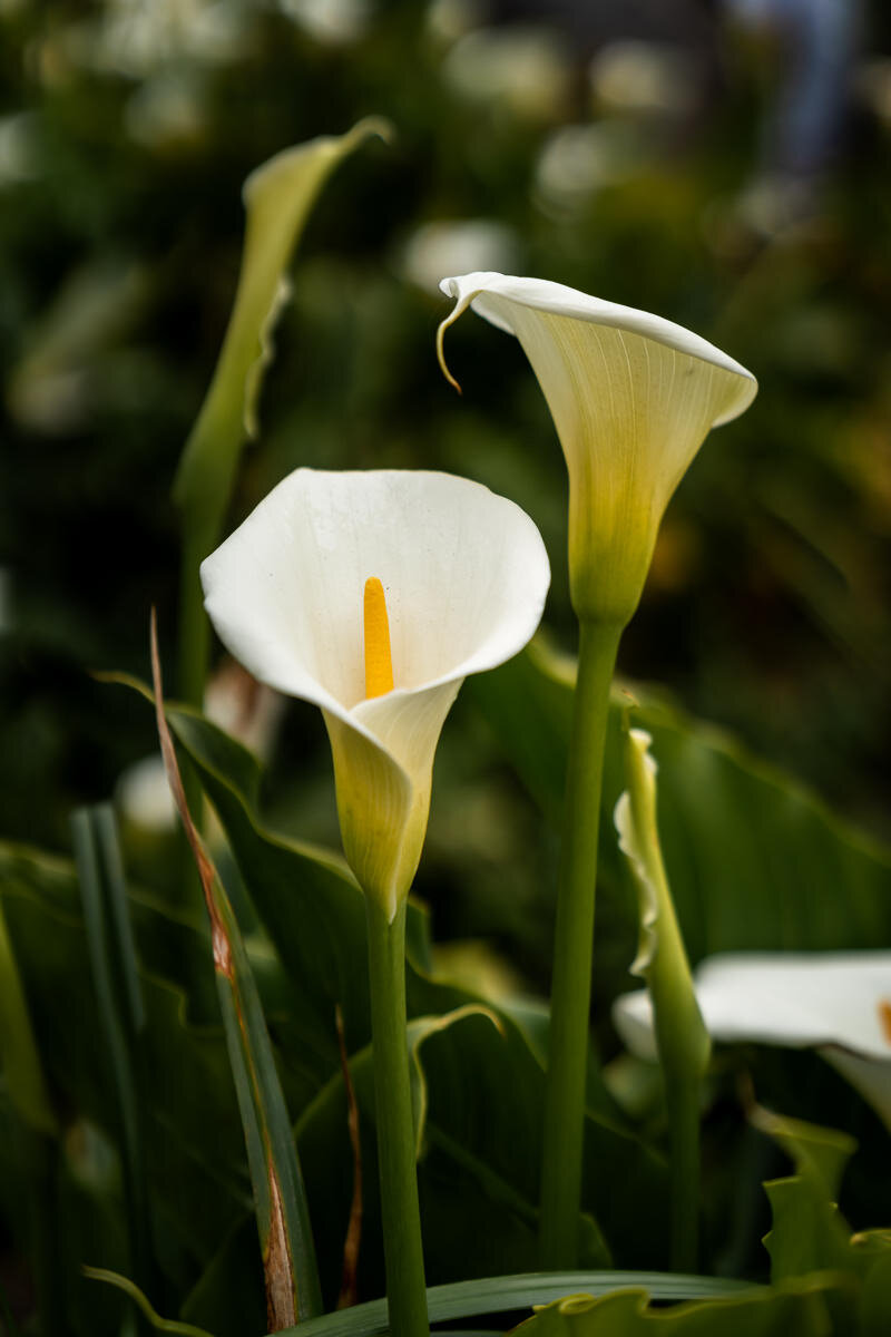 Big Sur Calla Lily Flowers ©詹妮弗·卡尔摄影-7.jpg