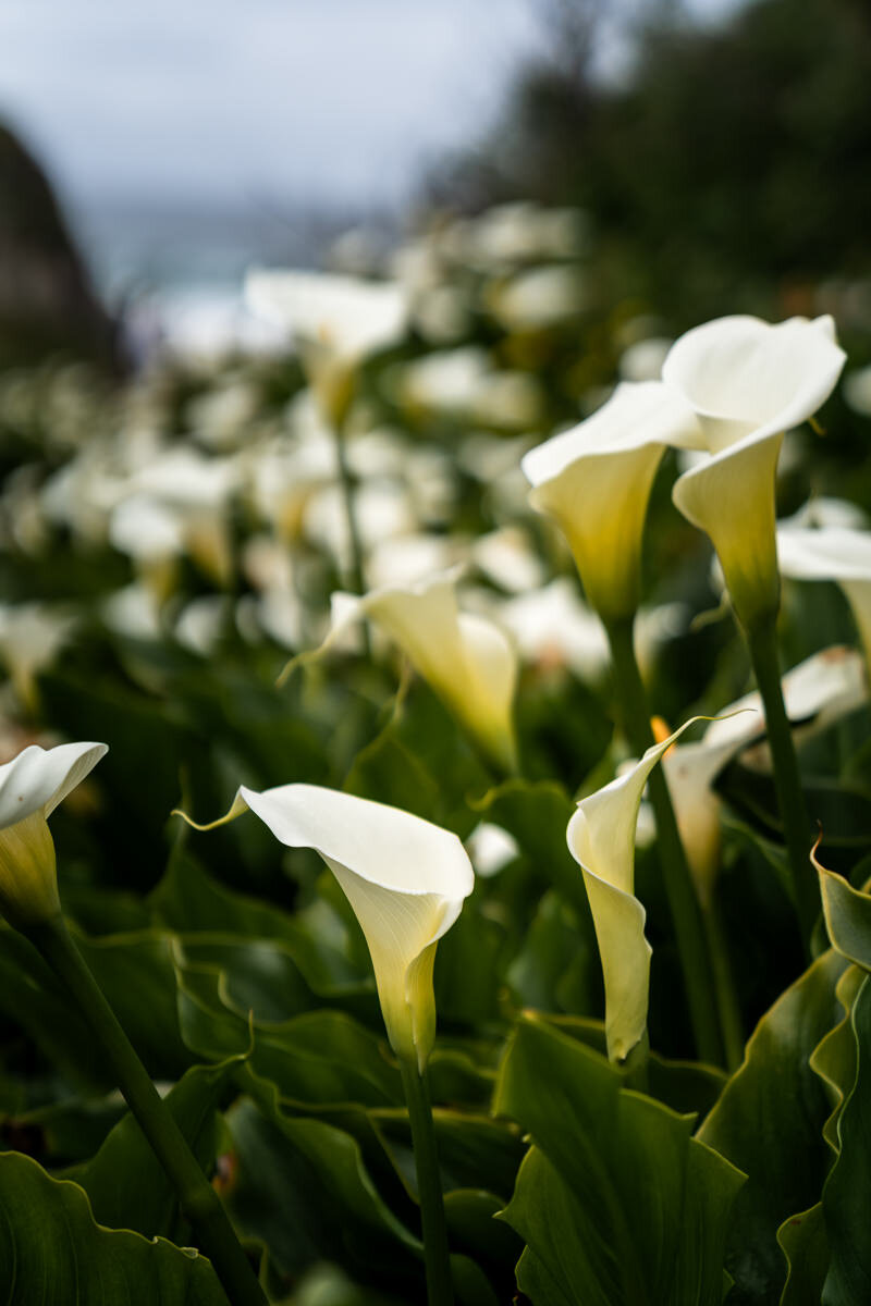 Big Sur Calla Lily Flowers ©詹妮弗·卡尔摄影-8.jpg