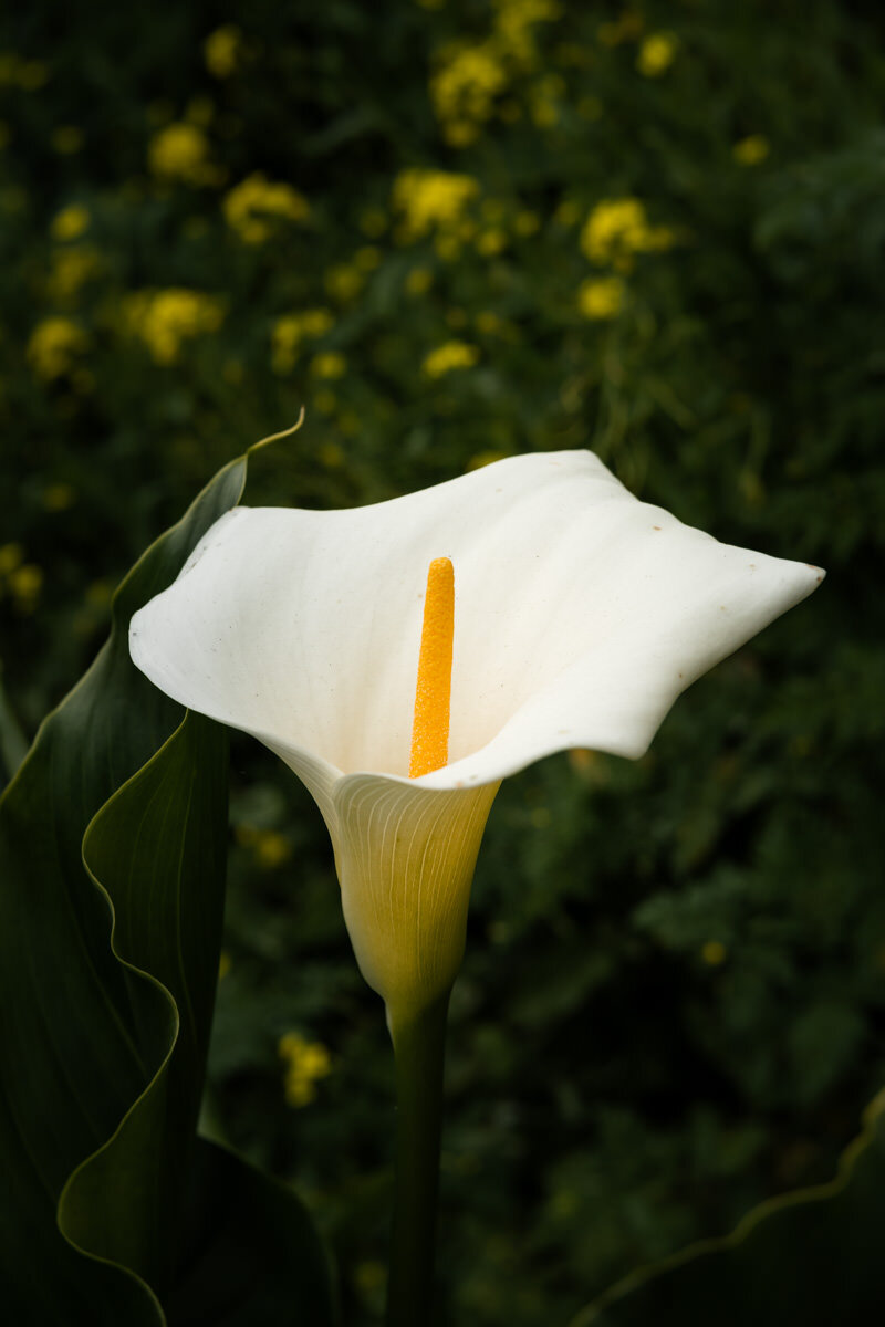 Big Sur Calla Lily Flowers ©詹妮弗·卡尔摄影-11.jpg