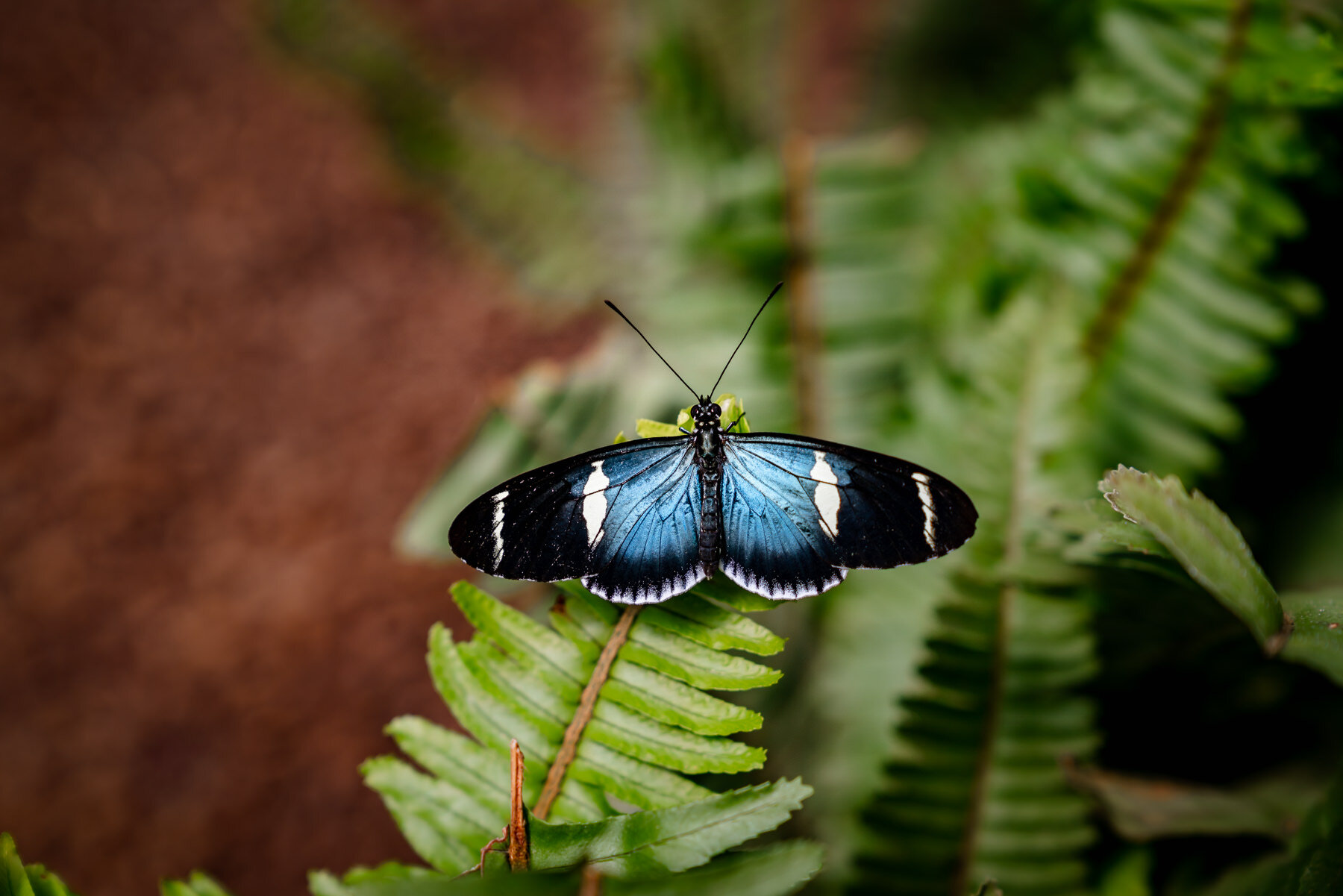 Doris Longwing,Heliconius doris-blue