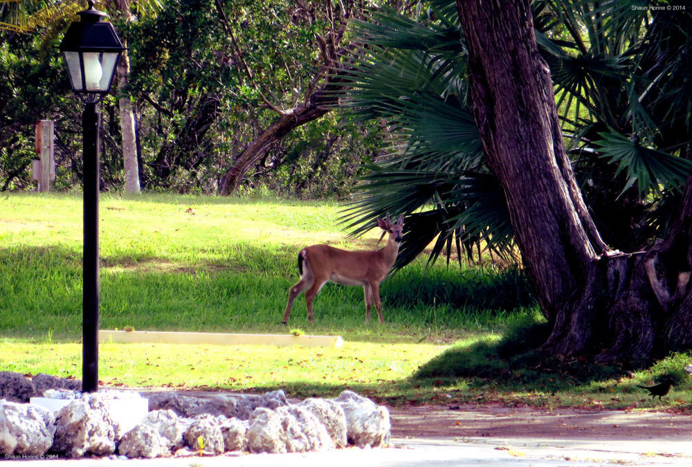 A Key Deer.  Endangered white tail deer species inhabiting the lower Florida Keys.  This one is specifically in Big Pine Key, FL.