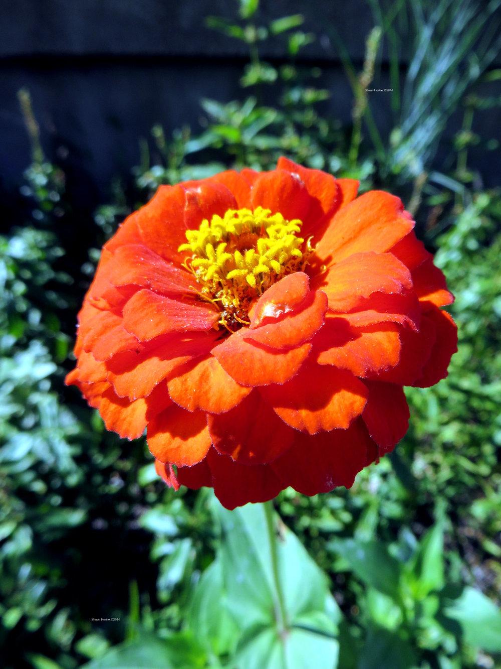 Macro of a bright orange-red flower. Baptist Hospital Lexington, KY. Canon SX280 HS