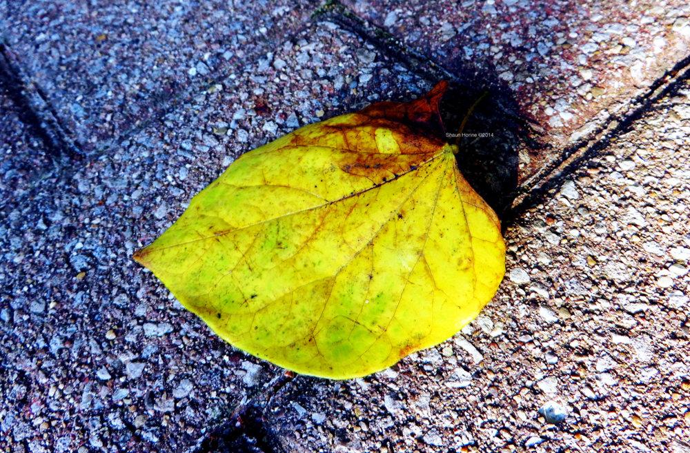 Macro of a leaf on the walkway. Baptist Hospital Lexington, KY. Canon SX280 HS
