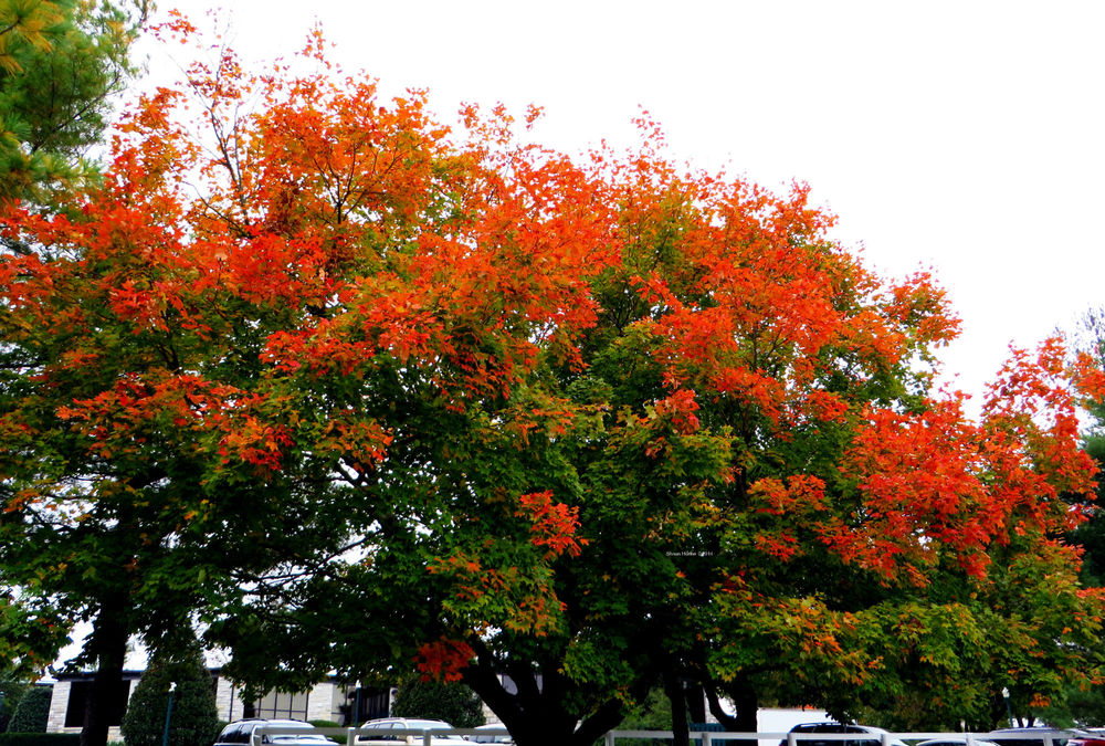 One of many beautiful trees surrounding the Keeneland race course and grounds.  Canon SX280 HS