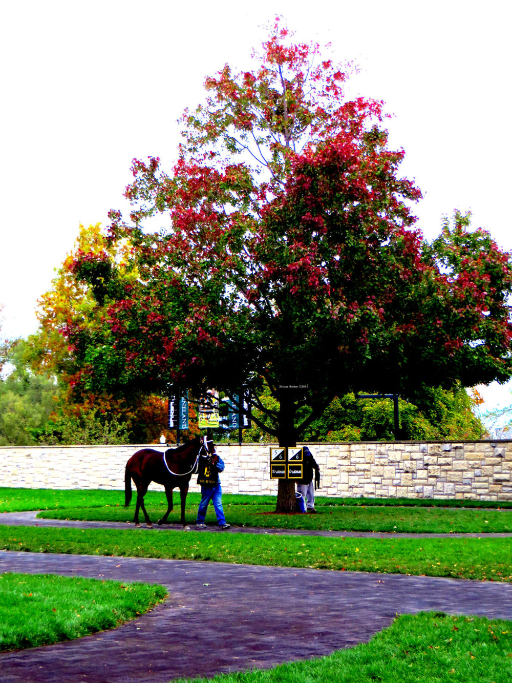 The paddock area where the horses are prepared prior to each race.  They walk around trees before being saddled and prepped for each race.