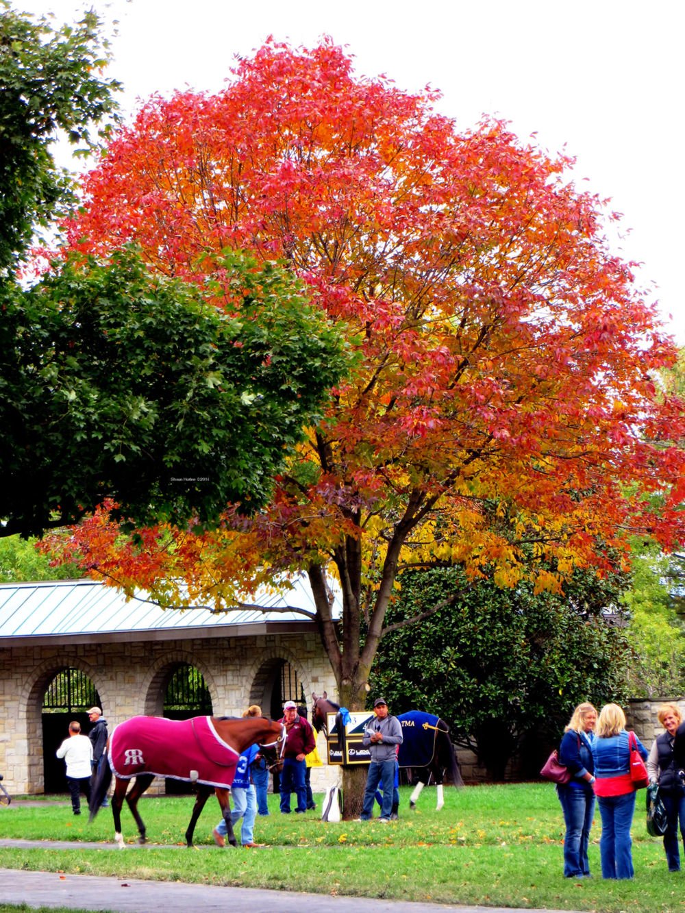 They circle two horses per tree.  These two under a particularly colorful one in the Keeneland paddock.
