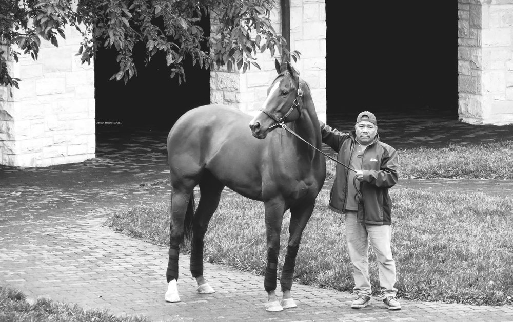 A black and white image of a thoroughbred race horse and its handler.  Beautiful animals at the peak of physical condition. Paddock area at Keeneland race course.