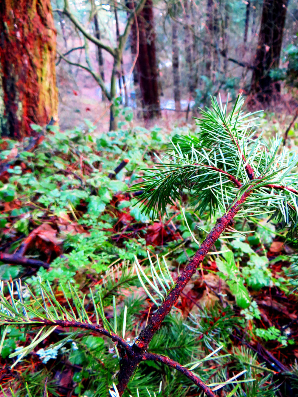 Evergreens abound in Mt. Tabor Park, Portland OR.  Canon SX280 HS