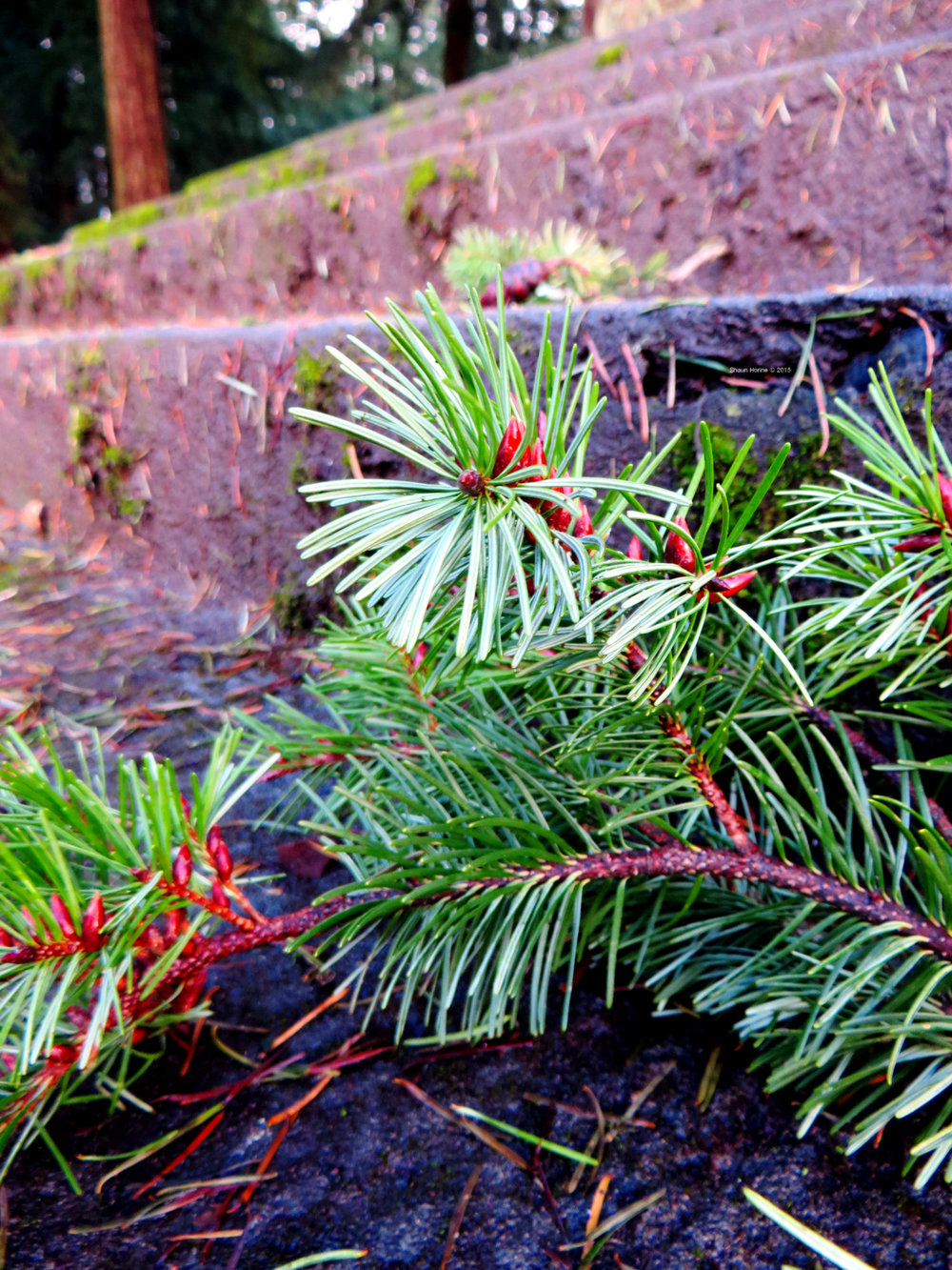 More evergreen goodness in Mt. Tabor Park, Portland OR.  Canon SX280 HS