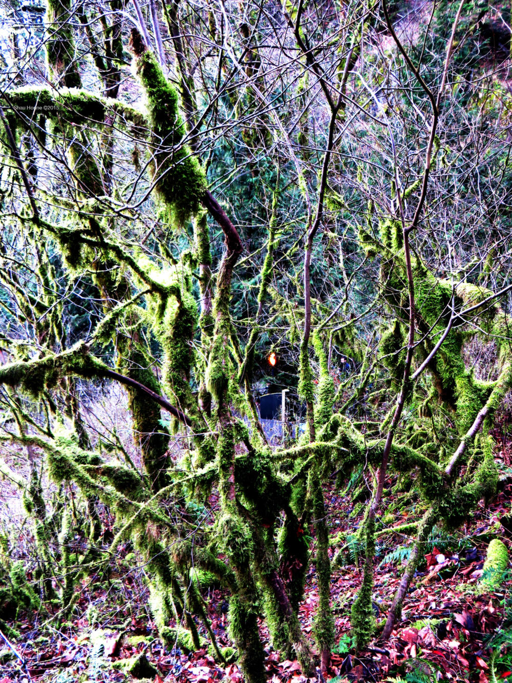 Some mossy branches on the trail up to Multnomah Falls. March 1st, 2015