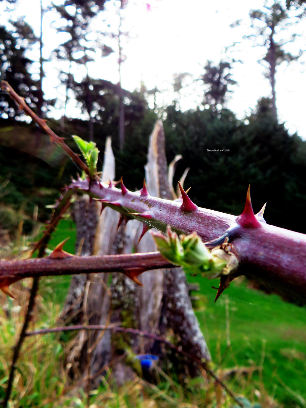 """A thorny branch at """"Goonies Rock Beach"""" (that's what I call it) on the Oregon coast. March 1st, 2015"""