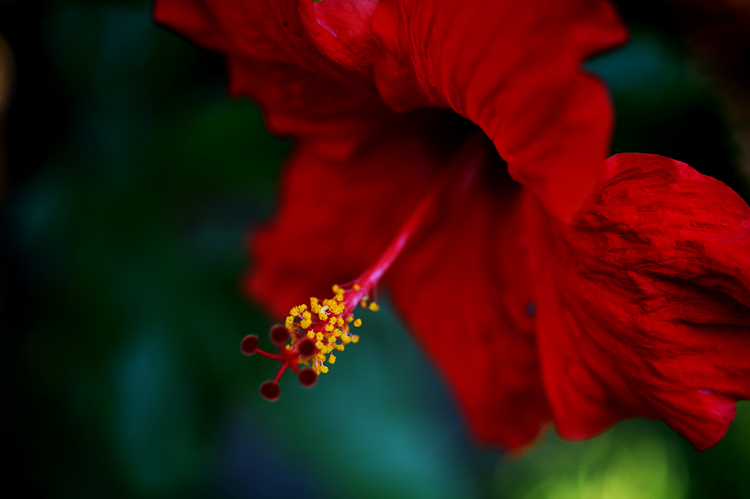 Apropos of nothing: nothing makes me miss Trinidad more than my neighbour's hibiscus in bloom.