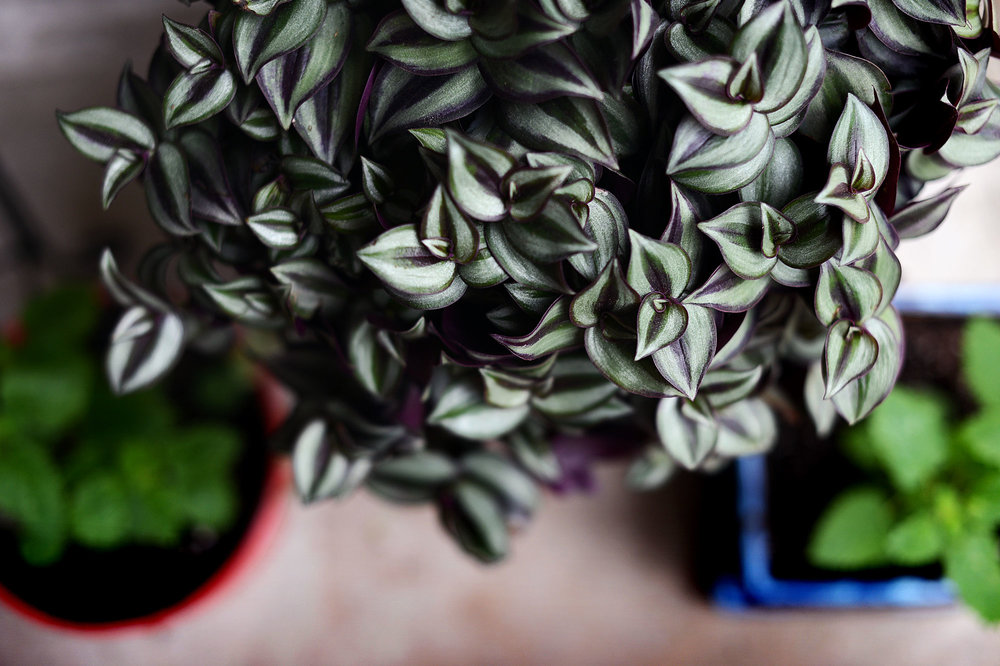 """A new plant we just bought, called """"Wandering Jew."""" I love this beauty. I think it's going to eventually have to move indoors, though — Houston heat will likely end it. For now it seems happy, though."""